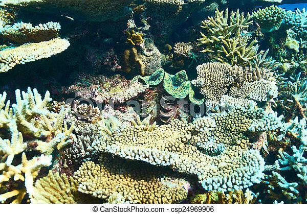 Almeja gigante en el arrecife de coral tropical - csp24969906