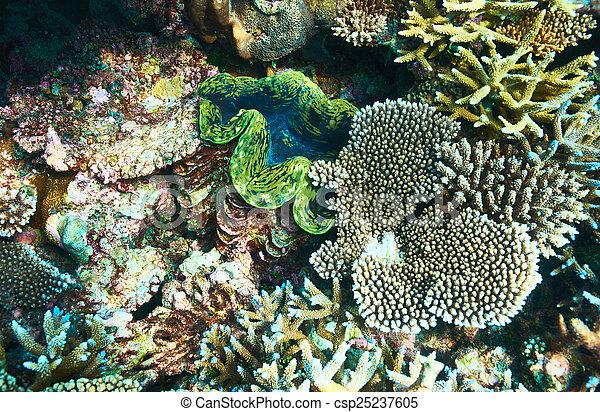 Almeja gigante en el arrecife de coral tropical - csp25237605