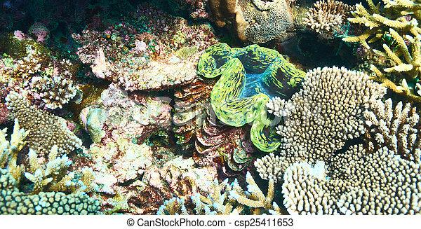 Almeja gigante en el arrecife de coral tropical - csp25411653