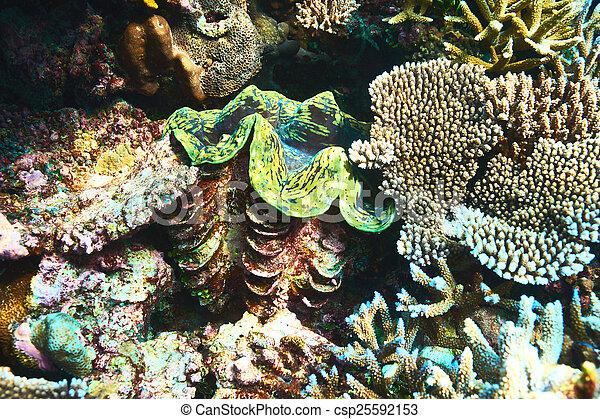 Almeja gigante en el arrecife de coral tropical - csp25592153