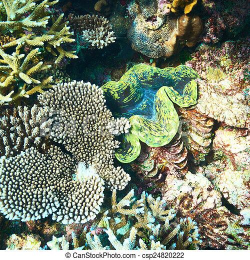 Almeja gigante en el arrecife de coral tropical - csp24820222