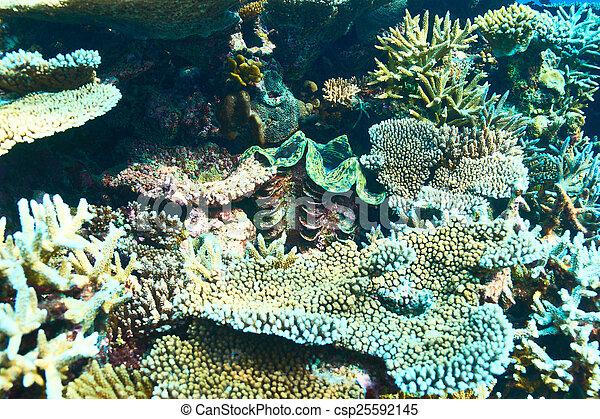 Almeja gigante en el arrecife de coral tropical - csp25592145