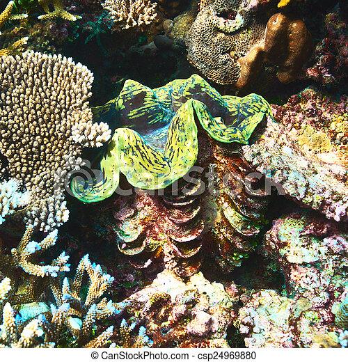 Almeja gigante en el arrecife de coral tropical - csp24969880