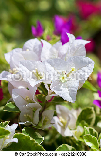 Tropical bougainvillea white flowers.