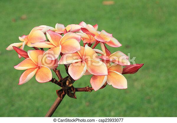 Tropical flowers frangipani (plumeria) - csp23933077