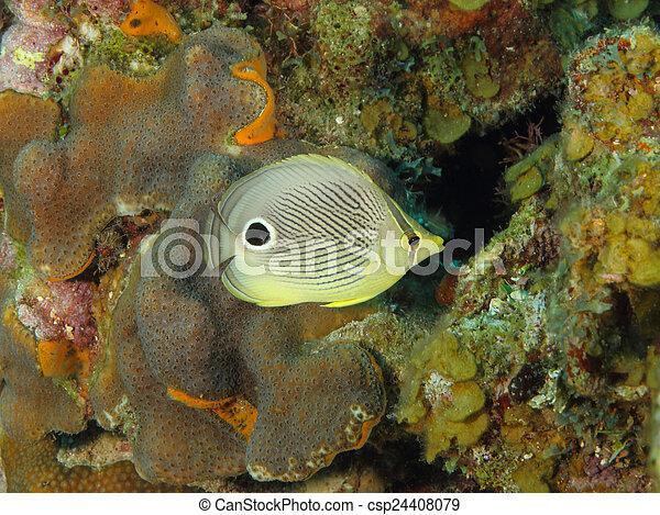 Cuatro ojos de pez mariposa en un arrecife de coral tropical - csp24408079