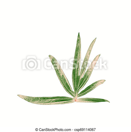 tropical jungle monstera leaves , vine leaf tree isolated on white background - csp69114067