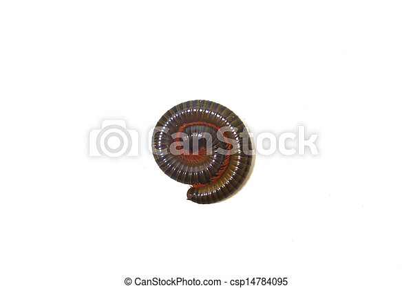 Tropical millipede isolated - csp14784095