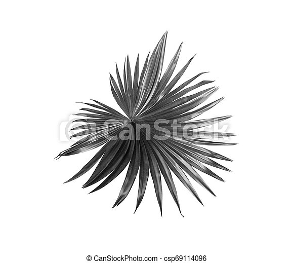 tropical nature black fan windmill palm leaf pattern on white - csp69114096