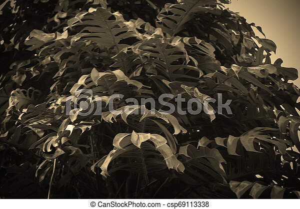 tropical nature black monstera palm leaves pattern - csp69113338