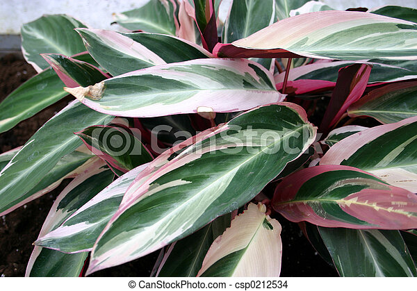 Tropical plant greenwhite and pink leaves of a tropical plant tropical plant csp0212534 mightylinksfo