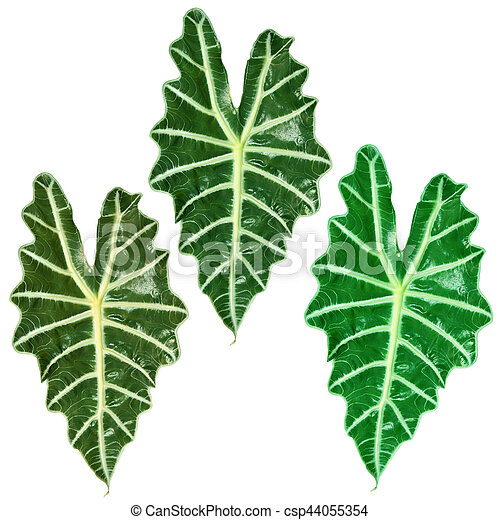Tropical Plant With Large Leaf Three Tropical Plants With Large