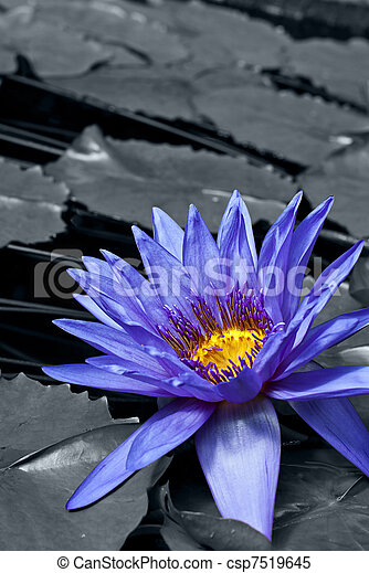 tropical, waterlily - csp7519645