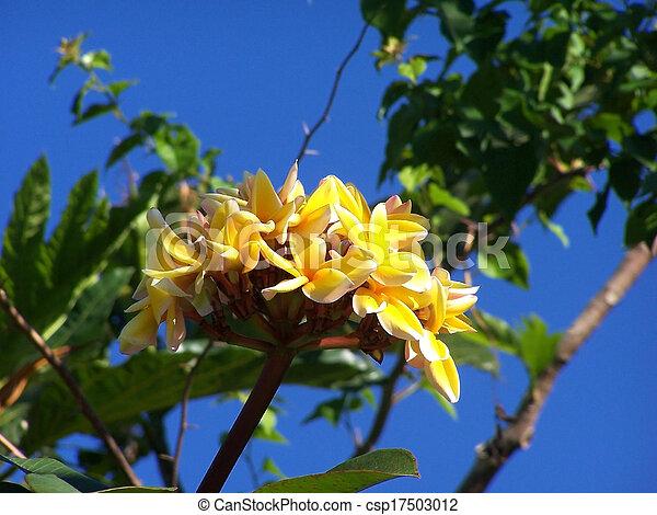 tropicale, flower., bordo, terme, plumeria., frangipani - csp17503012