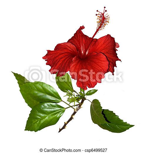 tropische , hibiscus, bloem, vrijstaand, rood - csp6499527
