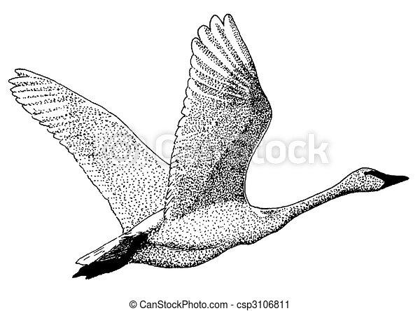 Trumpeter Swan - csp3106811