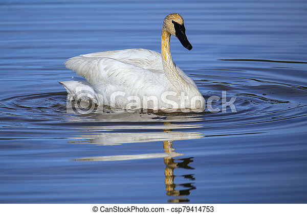 Trumpeter swan in Yellowstone National Park, Wyoming - csp79414753