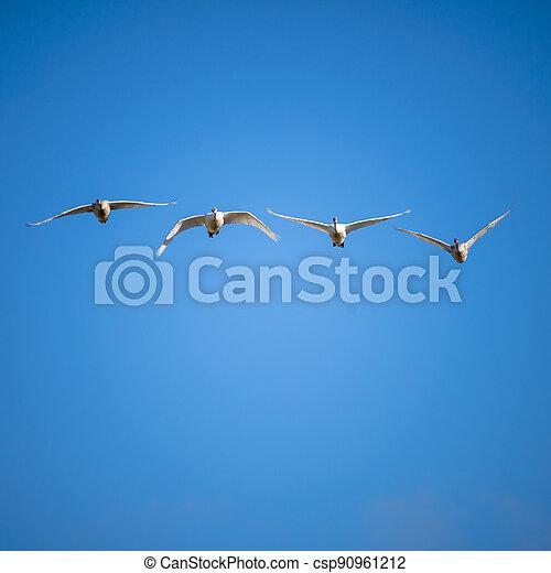 Trumpeter swan - csp90961212