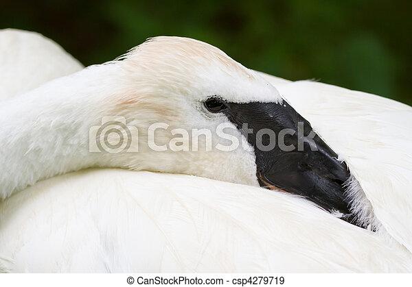 Trumpeter Swan Resting Closeup - csp4279719