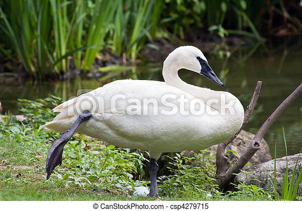 Trumpeter Swan Standing on One Foot - csp4279715