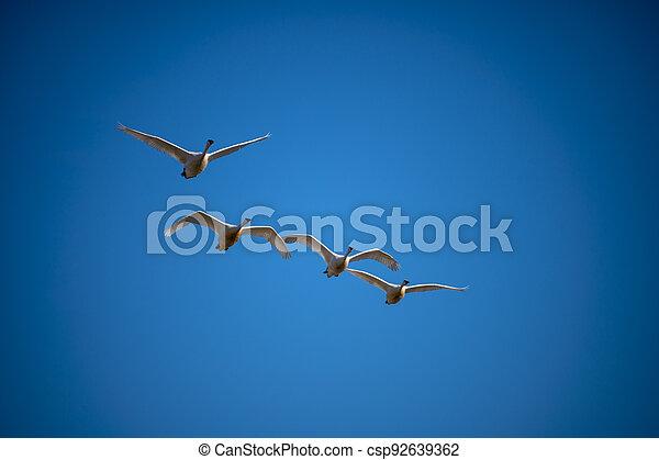 Trumpeter swan - csp92639362