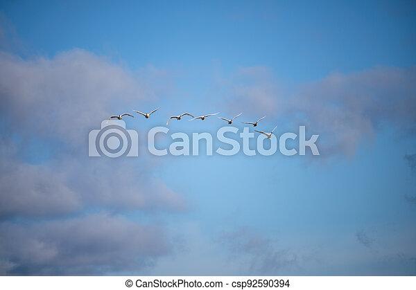 Trumpeter swan - csp92590394