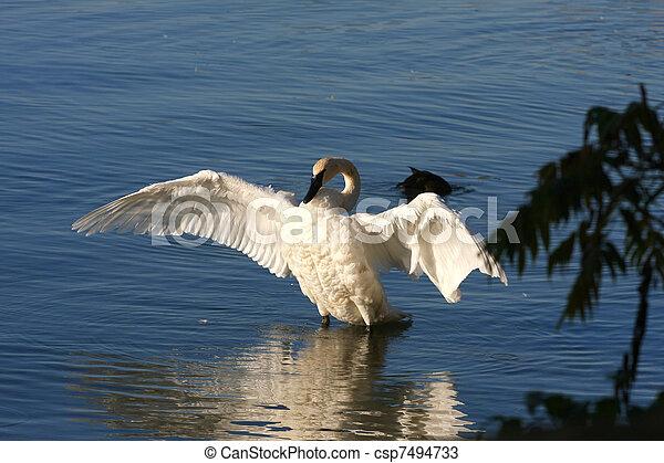 Trumpeter Swan - csp7494733