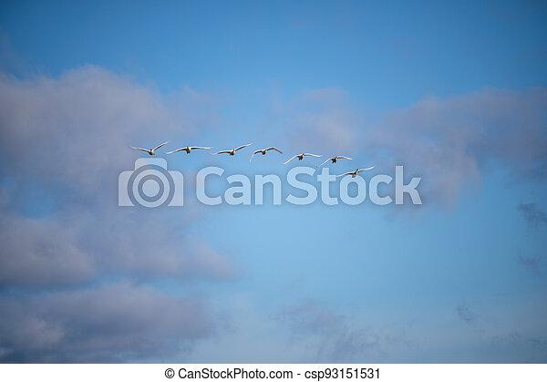 Trumpeter swan - csp93151531