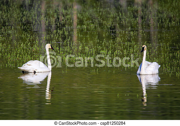 Trumpeter swans in Yellowstone National Park, Wyoming - csp81250284