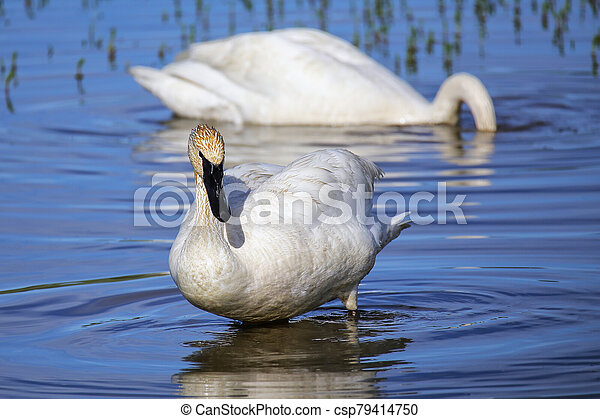 Trumpeter swans in Yellowstone National Park, Wyoming - csp79414750