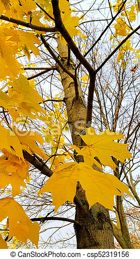 Trunk and branches with bright yellow leaves of autumn maple tree - csp52319156