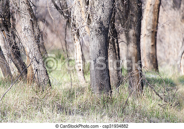 trunks of trees in a forest - csp31934882