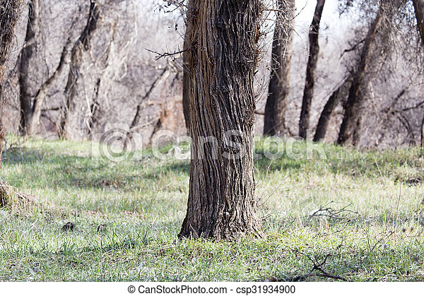 trunks of trees in a forest - csp31934900