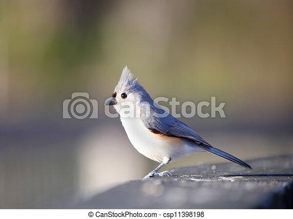 Tufted Titmouse bird - csp11398198