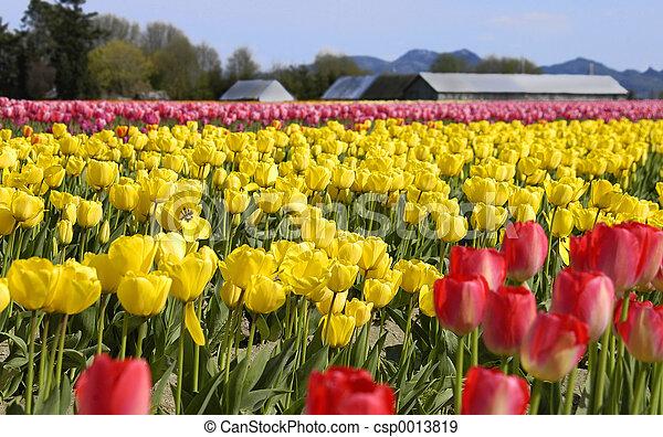Tulip 764 - csp0013819