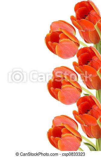 Tulip Border - csp0833323