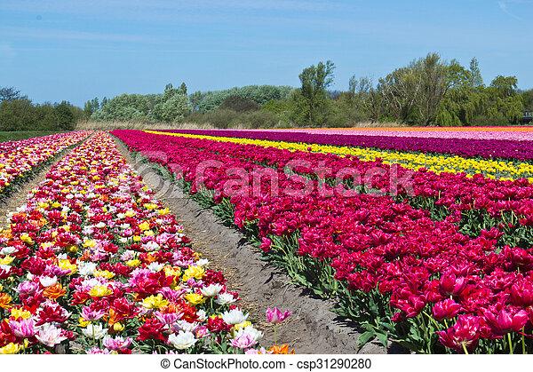 Tulip farm in the Netherlands - csp31290280