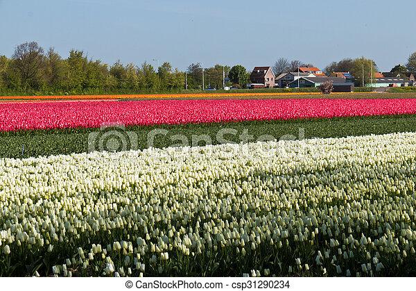 Tulip farm in the Netherlands - csp31290234