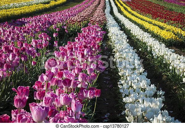 Tulip farm - csp13780127