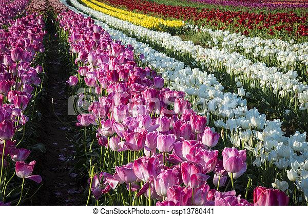 Tulip farm - csp13780441