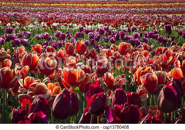 Tulip farm - csp13780408