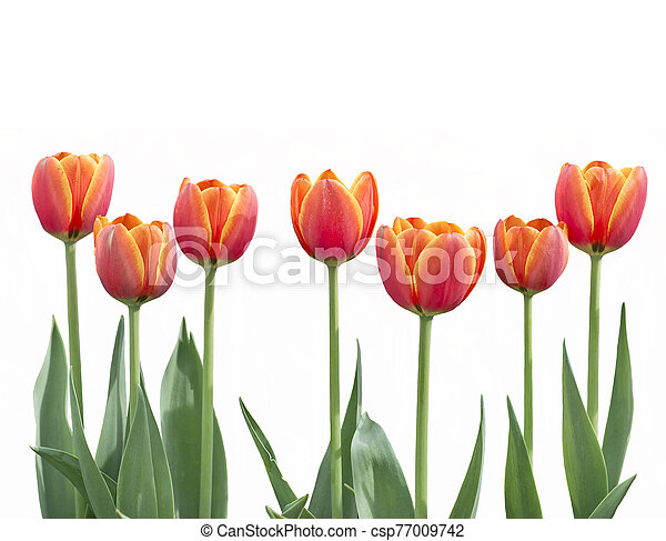 tulip flowers in a row isolated on white background - csp77009742