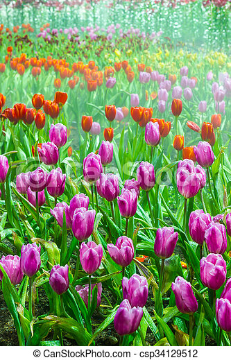tulip garden in nature - csp34129512