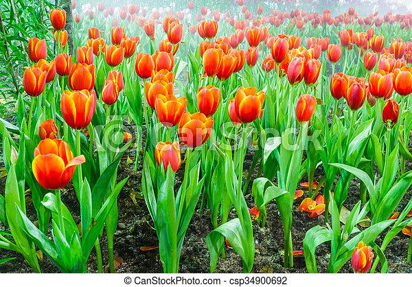 tulip garden in nature - csp34900692