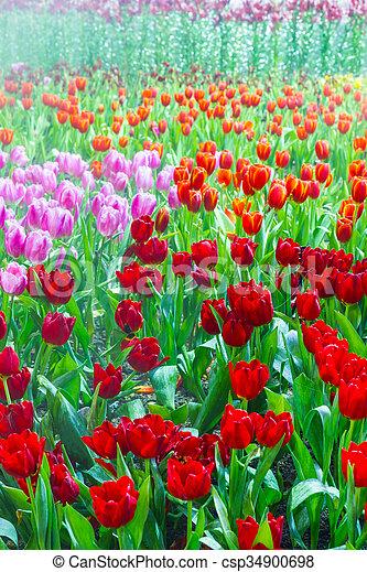tulip garden in nature - csp34900698