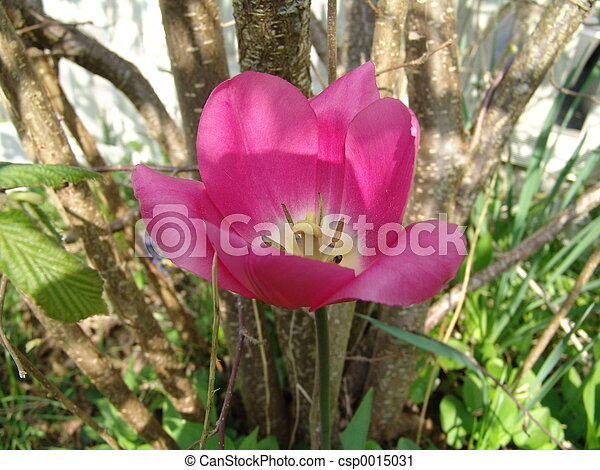 tulip - csp0015031