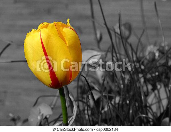 Tulip - csp0002134