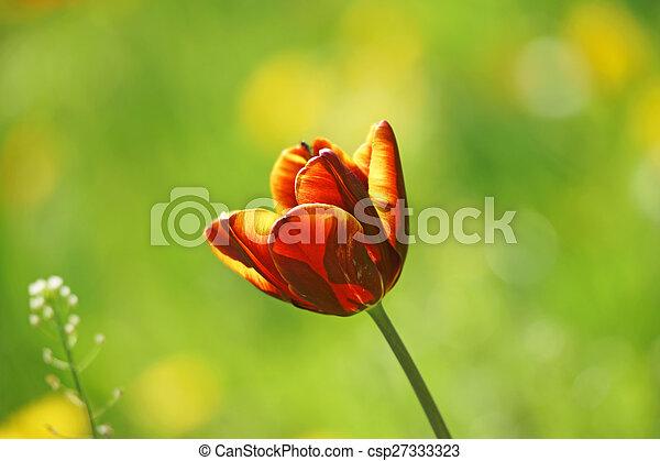 Tulip - csp27333323