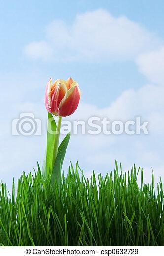 Tulip - csp0632729