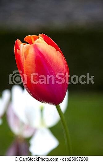 Tulip - csp25037209